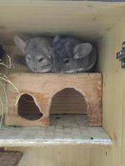 2 süße Chinchilla