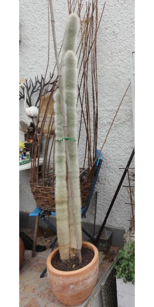 3 grosse s ulenkakteen kaktus h he 165 cm in dornbirn. Black Bedroom Furniture Sets. Home Design Ideas