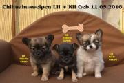 3 Süsse Chihuahuawelpen