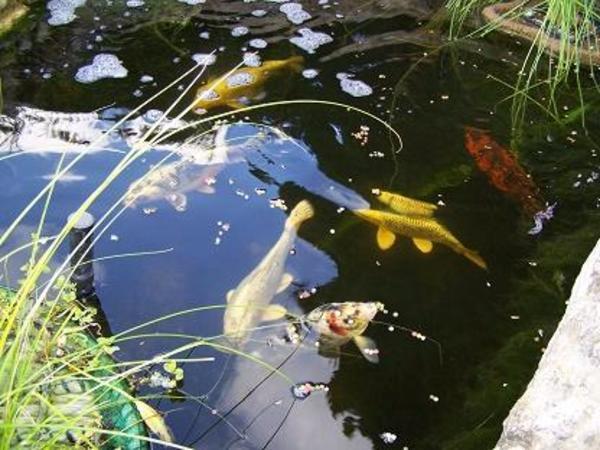 6 kois zu verkaufen in eisenach fische aquaristik for Welche fische passen zu kois