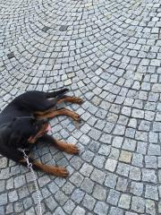 6 M. Rottweiler