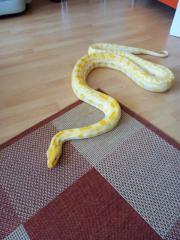 Albino Tigerpython weiblich