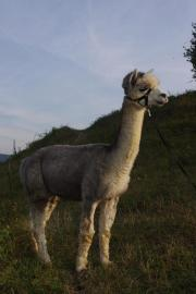 Alpaka-Hengst grau