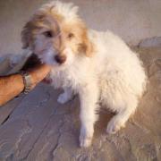 AMA , kleine Hundewelpe