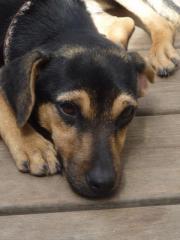 Anfänger-/Familienhund: kleine