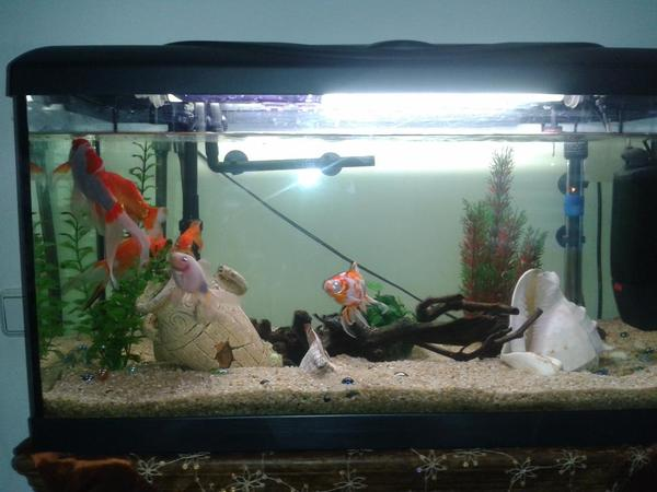 Goldfische aquarium neu und gebraucht kaufen bei for Aquarium fische im gartenteich