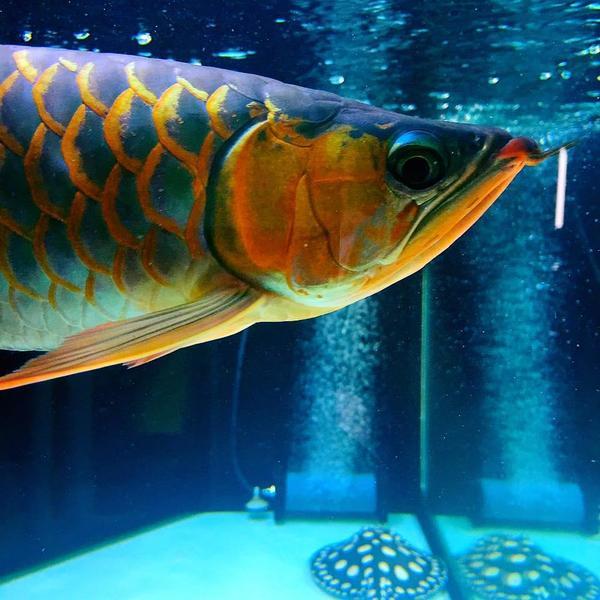 asiatische arowana fische aller arten zum verkauf in hamburg fische aquaristik kaufen und. Black Bedroom Furniture Sets. Home Design Ideas