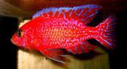 Aulo.-Firefish-seifert-