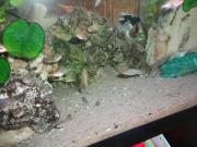 Aulonocara Fire Fish
