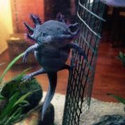 Axolotl``s mit