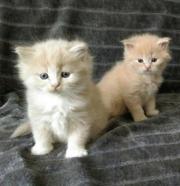Babykatzen Main Coon-