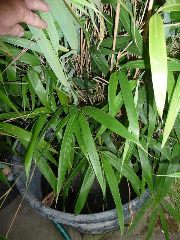 bambus im topf rohr in linkenheim hochstetten pflanzen. Black Bedroom Furniture Sets. Home Design Ideas