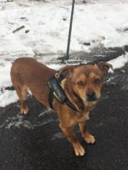 Basil, junger Chihuahua