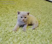 BKH-Kitten mit