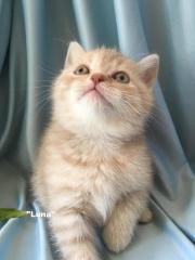 BKH Kitten - reinrassig