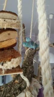 Blaugenick-Sperlingspapageien Paar