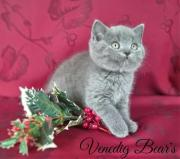 Blue Scottish Fold /
