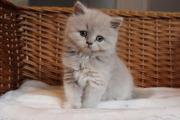 Britisch Langhaar Kitten (