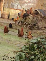 Bruteier Welsumer Hühner