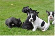 bulldogge-Franzo Welpen9*
