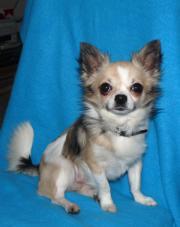 Chihuahua Deckrüde mit