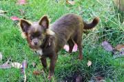 Chihuahua Jungrüde FCI