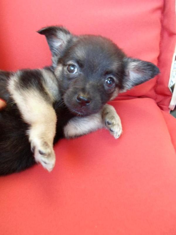 chihuahua pinscher m228dchen in berlin hunde kaufen und