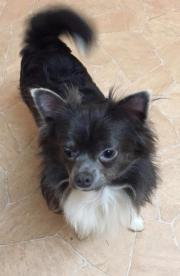 Chihuahua Rüde in