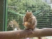 Chinesische Baumstreifenhörnchen, Männchen !