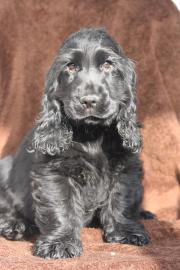 Cocker Spaniel Welpe