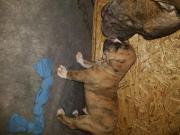 Continental Bulldog x Alternativ ( Alauntbull) Continental Bulldog x Alternativ Bulldog (Alauntbull). Die Eltern besitzen beide Papiere / Ahnentafel. Papa: Continental Bulldog von Asgards Pride mit ... 800,- D-96052Bamberg Bahngebiet Heute, 09:40 Uhr, Bam - Continental Bulldog x Alternativ ( Alauntbull) Continental Bulldog x Alternativ Bulldog (Alauntbull). Die Eltern besitzen beide Papiere / Ahnentafel. Papa: Continental Bulldog von Asgards Pride mit