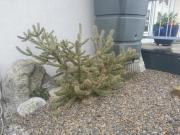 Cylindropuntia, frei ausgepflanzter
