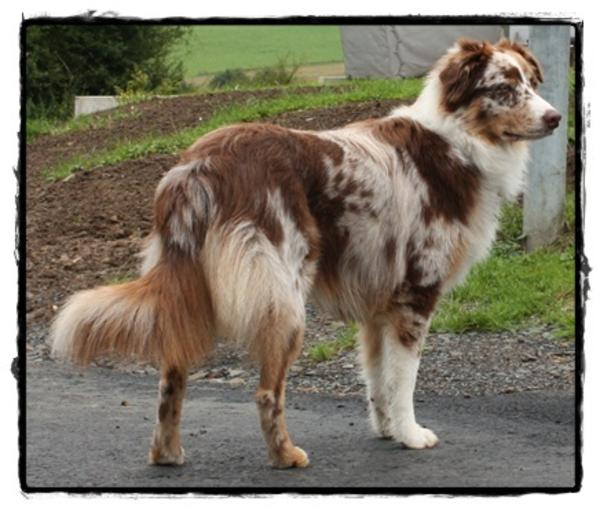 deckr de australian shepherd red merle in asbach hunde kaufen und verkaufen ber private. Black Bedroom Furniture Sets. Home Design Ideas