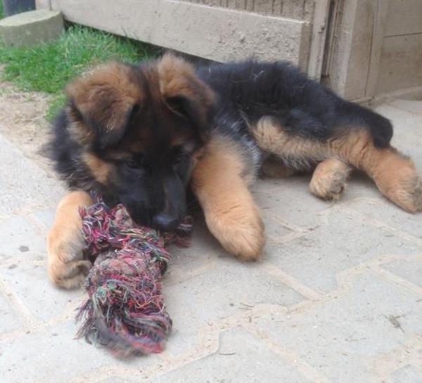 deutscher sch ferhund welpe r de in erlensee hunde kaufen und verkaufen ber private kleinanzeigen. Black Bedroom Furniture Sets. Home Design Ideas