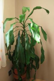 Drachenbaum (dracaena fragans)