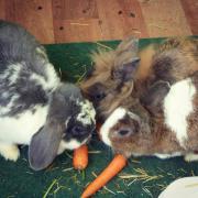 Drei süße Kaninchen