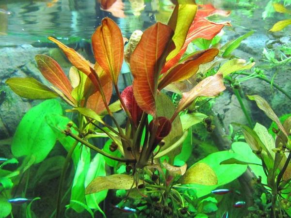 echinodorus ableger pflanze f r barschbecken geeignet in bad sch nborn fische aquaristik. Black Bedroom Furniture Sets. Home Design Ideas