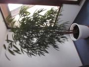 Ficus Alii (Oleanderfeige)