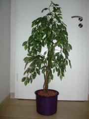 Ficus Benjamini Kunstpflanze
