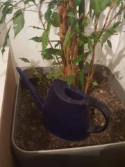 Ficus mit Bewässerungstopf