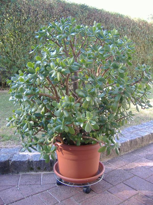 geldbaum pfennigbaum in langenzenn pflanzen kaufen und