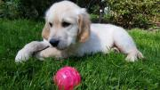 Golden-Retriever Welpe