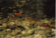 Goldfische ca 80