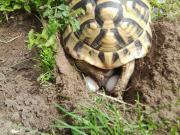 Griechische Landschildkröten 2014