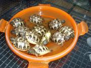 Griechische Landschildkröten 2015