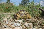 Griechische Landschildkröten Adult (