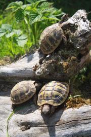 Griechische Landschildkröten (THB)