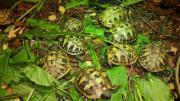 Griechische Landschildkröten von