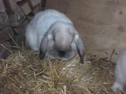 Hase Kaninchen Zwergwidder