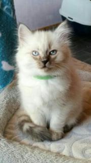 hl Birma Kitten